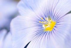 Las flores del lino se cierran Fotos de archivo libres de regalías