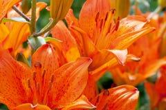 Las flores del lirio se cierran para arriba Foto de archivo libre de regalías