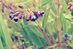 Las flores del lungwort en el primer verde del fondo teñieron la violeta Imagen de archivo libre de regalías