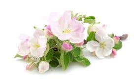 Las flores del manzana-árbol Imagen de archivo libre de regalías