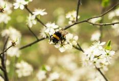 Las flores del manzano y manosean la abeja Imagenes de archivo