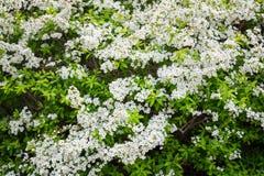 Las flores del maritima del Lobularia llamaron el maritimum de Alyssum foto de archivo libre de regalías