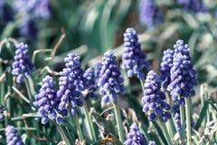 Las flores del Muscari, armeniacum del Muscari, jacintos de uva saltan las flores que florecen en abril y pueden Planta del armen foto de archivo