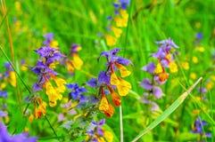 Las flores del nemorosum de Melampyrum en verano florecen - paisaje del campo del verano Imagen de archivo