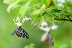 Las flores del olor de la mariposa fotografía de archivo libre de regalías