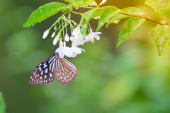 Las flores del olor de la mariposa imágenes de archivo libres de regalías