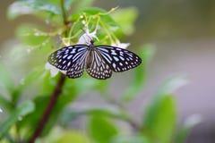 Las flores del olor de la mariposa imagen de archivo
