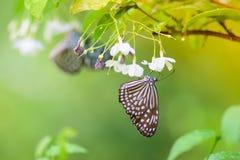 Las flores del olor de la mariposa fotografía de archivo