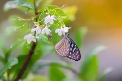 Las flores del olor de la mariposa foto de archivo libre de regalías