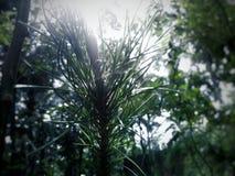 Las flores del pino se exponen al sol de la mañana fotografía de archivo libre de regalías