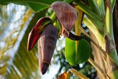 Las flores del plátano emergen como un cono afilado grande del centro del árbol de plátano en el extremo de la extremidad de un m imágenes de archivo libres de regalías