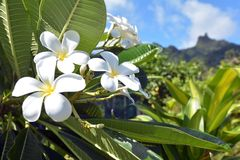 Las flores del Plumeria crecen en el cocinero Islands de Rarotonga Fotos de archivo libres de regalías