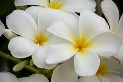 Las flores del Plumeria están en blanco Fotos de archivo