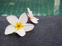Las flores del Plumeria se colocan al borde de la piscina fotografía de archivo libre de regalías