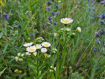 Las flores del prado Fotografía de archivo libre de regalías