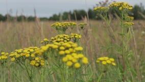 Las flores del prado y las espigas de trigo se sacuden en el viento en un día de verano soleado metrajes