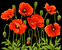 Las flores del resorte fijaron: amapola Foto de archivo libre de regalías
