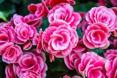 Las flores del rosa Foto de archivo libre de regalías