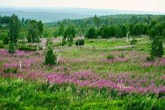 Las flores del rosa en el prado Imagen de archivo