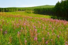 Las flores del rosa en los prados Imagenes de archivo