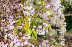 Las flores del rosa y blancas de la cereza que llora, Sakura florecen fotos de archivo