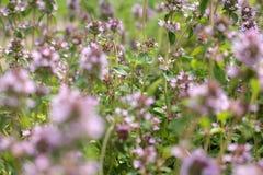 Las flores del tomillo Imagenes de archivo