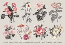 Las flores determinadas de la botánica que dibujan el grabado Vector la manzanilla Rose, Dogrose de la petunia del heliótropo del