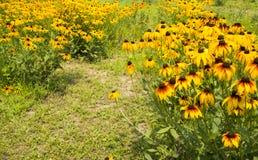 Las flores en la plena floración, hirta del Rudbeckia Fotos de archivo