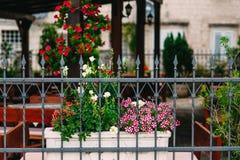 Las flores en potes en la yarda son petunia y antirrinum Flores Imagen de archivo