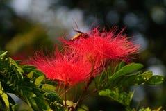Las flores gemelas del árbol de seda del Albizia con una abeja dentro de ella Imagenes de archivo