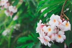 Las flores hermosas del Frangipani del Plumeria se cierran para arriba imágenes de archivo libres de regalías