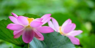 Las flores hermosas del lirio de agua del parque en la floración Imágenes de archivo libres de regalías