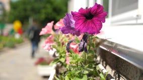Las flores hermosas florecen en primavera en el parque floraciones Blanco-rojas de la petunia en la estaci?n de verano en una mac