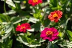 Las flores llamadas zinia que crecía en una cama del jardín en un parque del verano en el fondo empañaron otras flores para la de foto de archivo