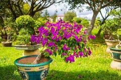 Las flores magentas en la flor de Dalat parquean, Vietnam Imagenes de archivo