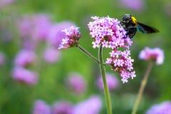 Las flores minúsculas de la verbena púrpura con manosean la abeja en sol de la mañana Fotos de archivo