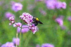 Las flores minúsculas de la verbena púrpura con manosean la abeja en sol de la mañana Imagenes de archivo