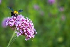 Las flores minúsculas de la verbena púrpura con manosean la abeja en sol de la mañana Imagen de archivo libre de regalías