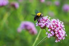 Las flores minúsculas de la verbena púrpura con manosean la abeja en sol de la mañana Imagen de archivo