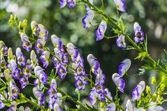 Las flores mojadas del acónito o el napellus púrpuras y blancas del Aconitum con dos abejas amarillas en un fondo borroso verde foto de archivo libre de regalías