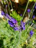 Las flores púrpuras azules se cierran para arriba y 4k Fotografía de archivo