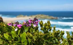 Las flores púrpuras con el océano y el horizonte empañaron el fondo África del sur el robberg Imágenes de archivo libres de regalías