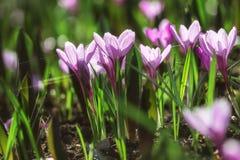 Las flores púrpuras de Krokuy crecen en la hierba Fotos de archivo