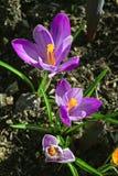 Las flores púrpuras de Krokuy crecen en la hierba Foto de archivo