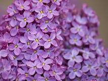 Las flores púrpuras de la lila se cierran para arriba, fondo floral de la primavera estacional natural Imágenes de archivo libres de regalías