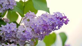 Las flores púrpuras de la lila se cierran para arriba, fondo macro floral de la primavera estacional natural con el espacio de la almacen de metraje de vídeo