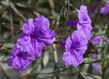 Las flores púrpuras florecieron por la mañana Fotos de archivo libres de regalías