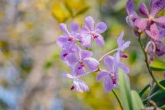 Las flores púrpuras hermosas de la orquídea en una rama en un jardín de orquídeas se cierran para arriba Imagenes de archivo