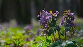 Las flores púrpuras permanecen en el viento de par en par 2 almacen de metraje de vídeo