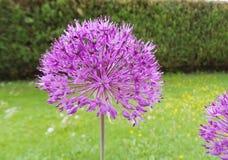 Las flores púrpuras se cierran encima de fondo verde foto de archivo